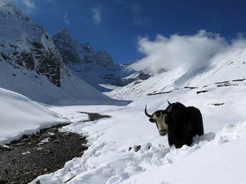 yak in Manichermo