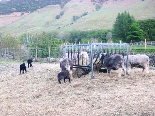 Hardy Herdwick sheep get an easy feed after lambing