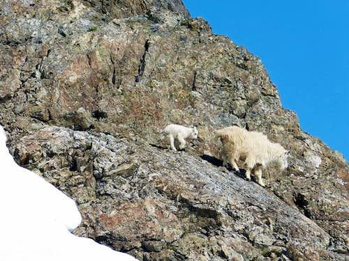 Skokomish Goats 2