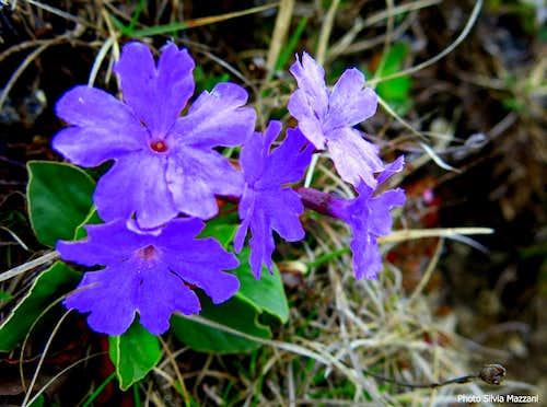 Rare specimen of Primula Meravigliosa (Primula Spectabilis), Bocca dell'Ussol