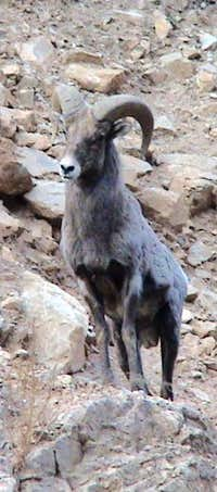 Young Male Big Horn Sheep