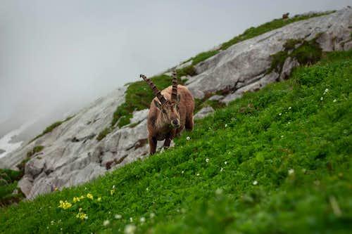 Ibex on my way to Säntis