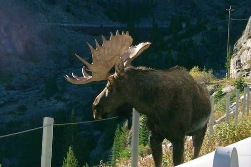 A moose we ran into on the...