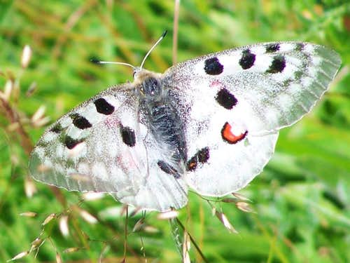 A threatened species: Parnassius apollo