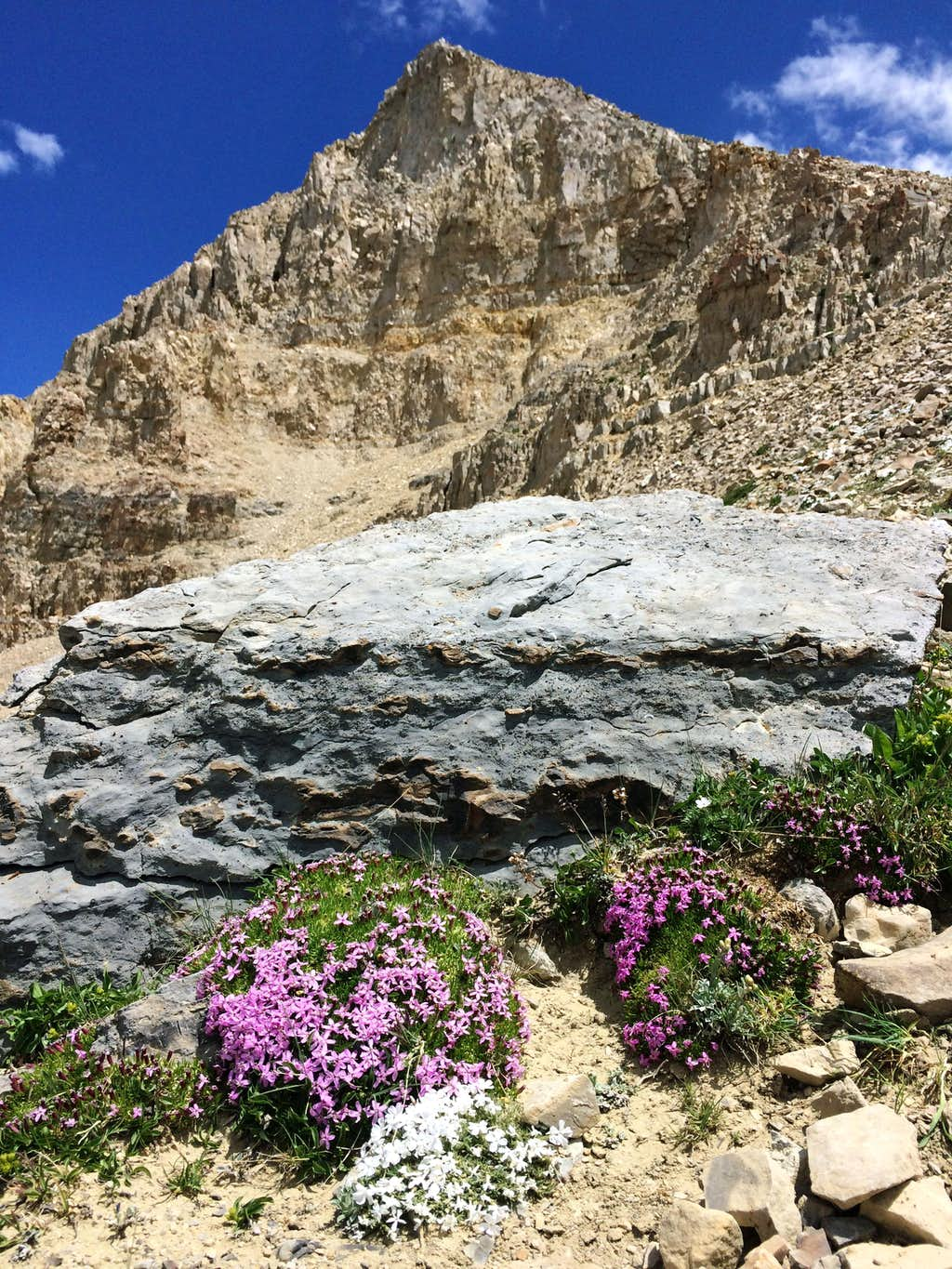 More South Timp wildflowers