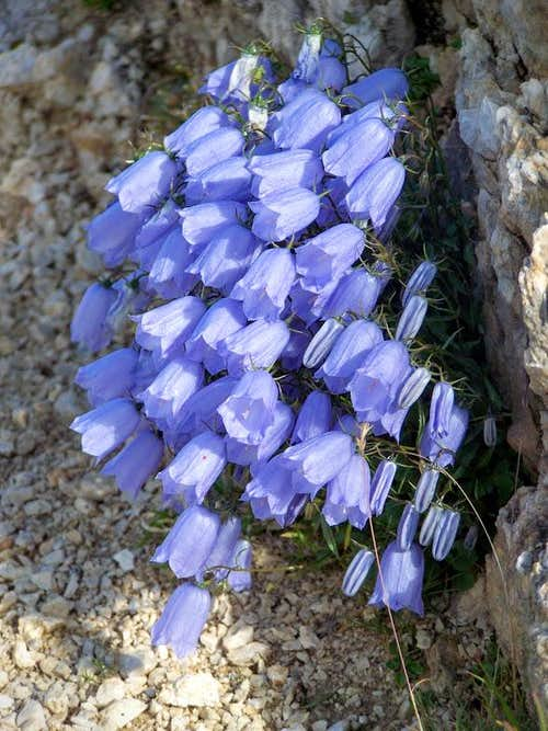 Bellflowers near the peak of Hochobir