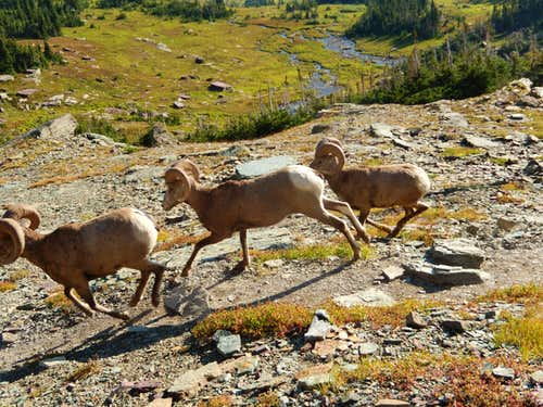 Bighorns on Reynolds Mtn.