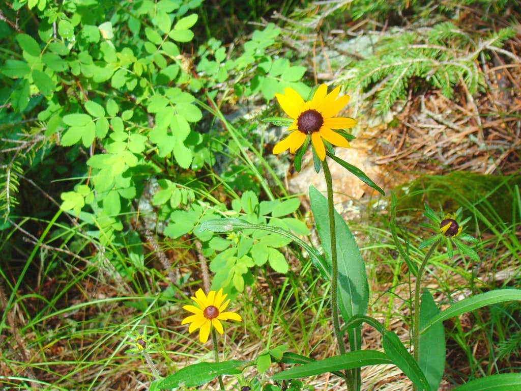 Norbeck Trail Wildflowers