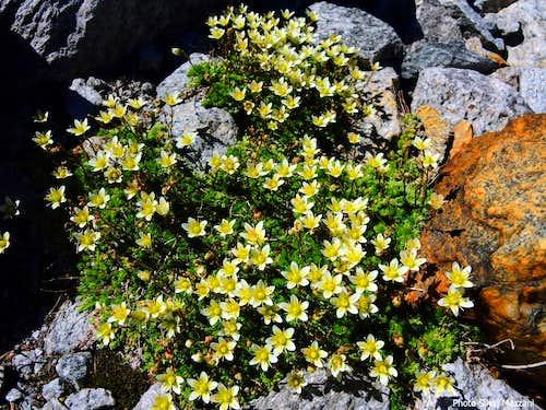 Bryoides Saxifrage (Sassifraga Zolfina) - Schrammacher approach
