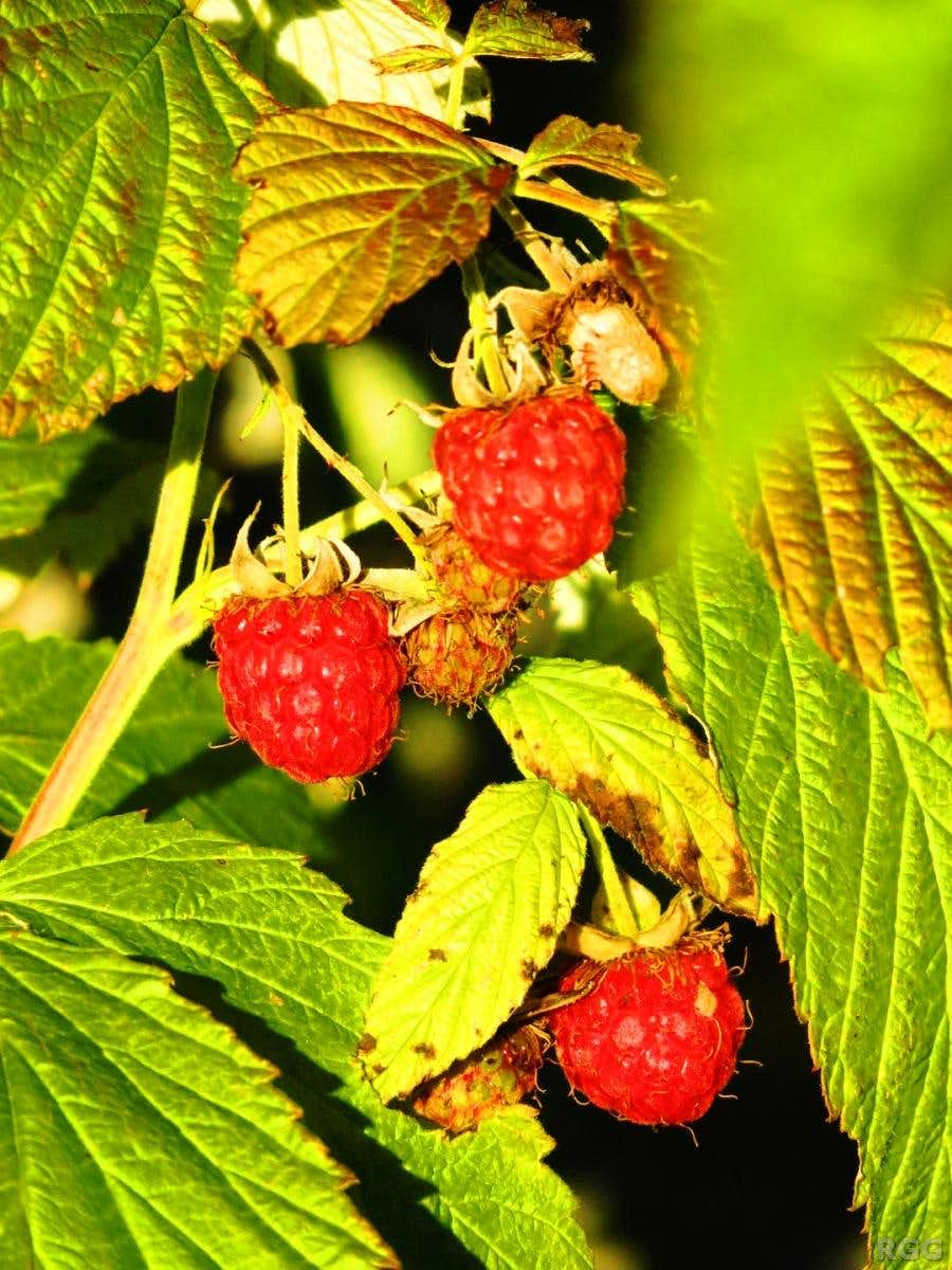 There were lots of raspberries along the trails in the Tatras