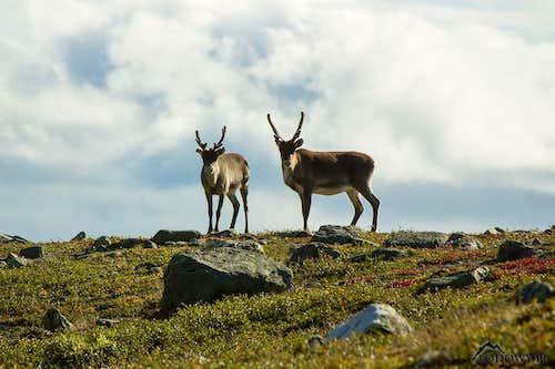 Rittak reindeers