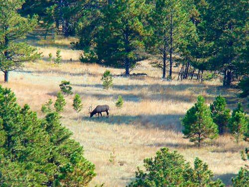 Matias Peak Elk