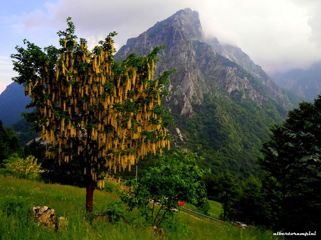 Maggiociondolo (Laburnum)  and Pasubio in background seen from Malga Cornetto