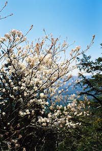 Dogwood in bloom, climber's...