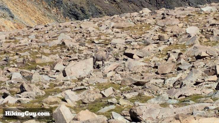 Bighorn Sheep on White Mountain Peak Hike