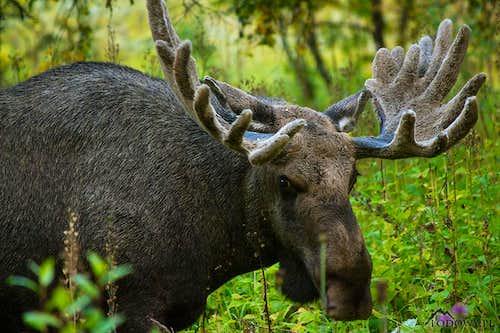 Sarek moose