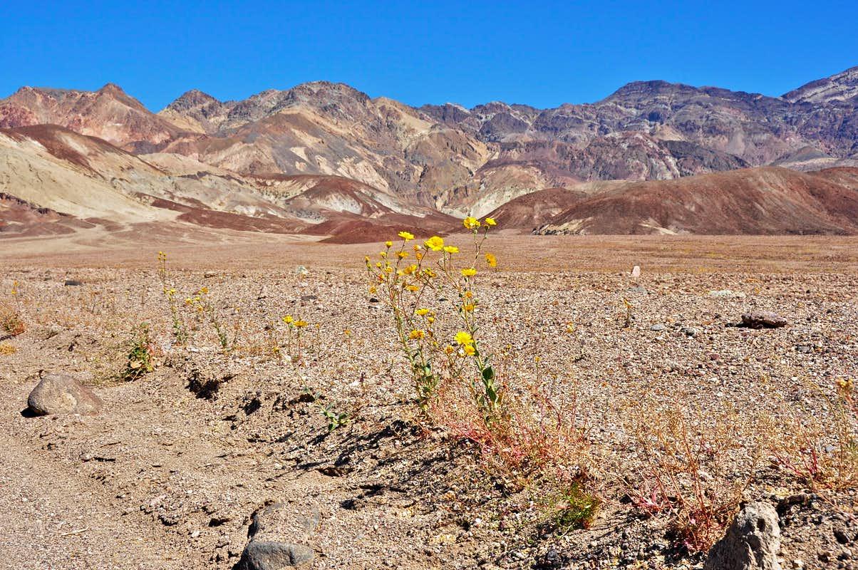 Death Valley wildflowers s Diagrams & Topos SummitPost
