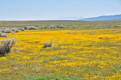 Fields of California Poppies