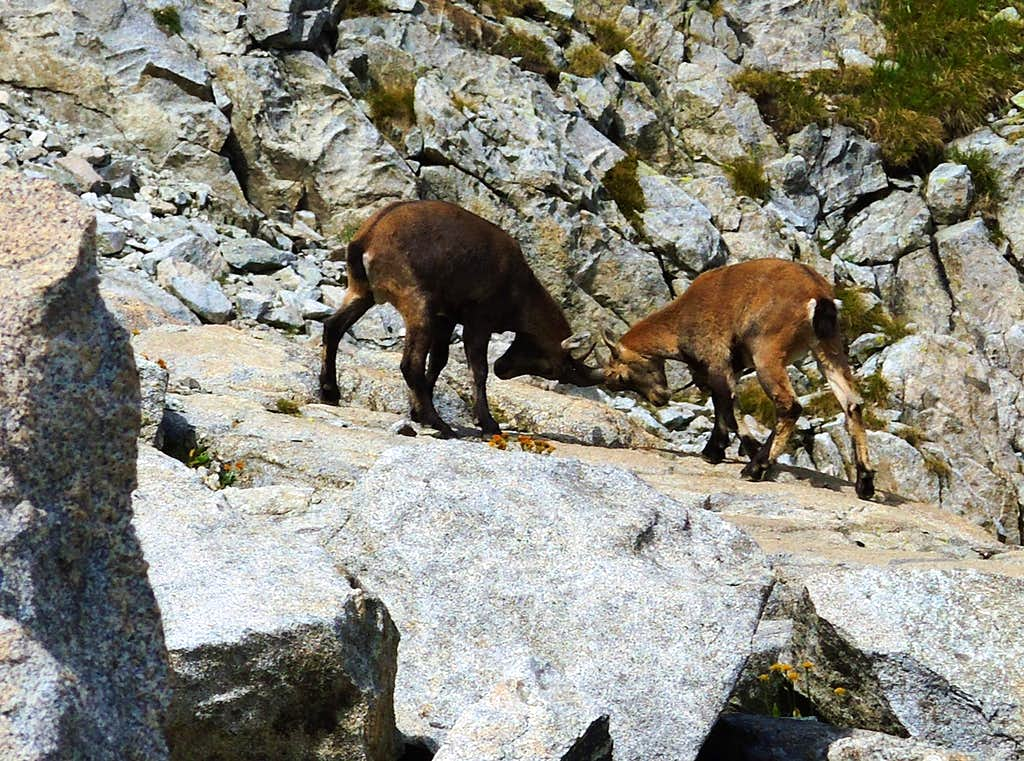 Fighting between two puppies of ibex near Passo Casamatta