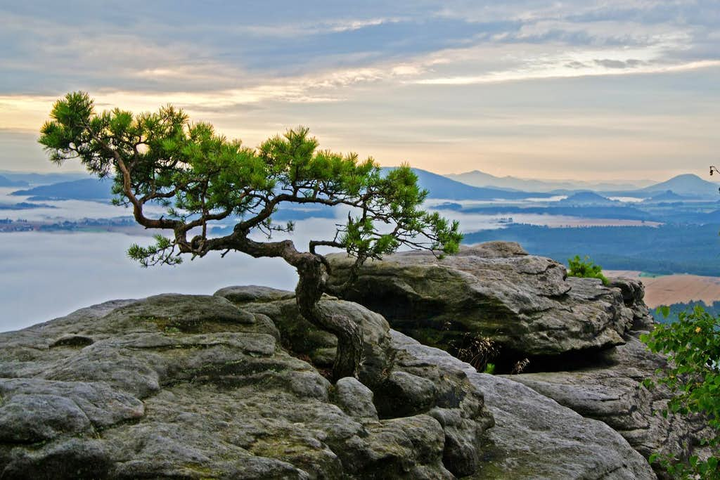 Little pine tree on the top of the Lilienstein