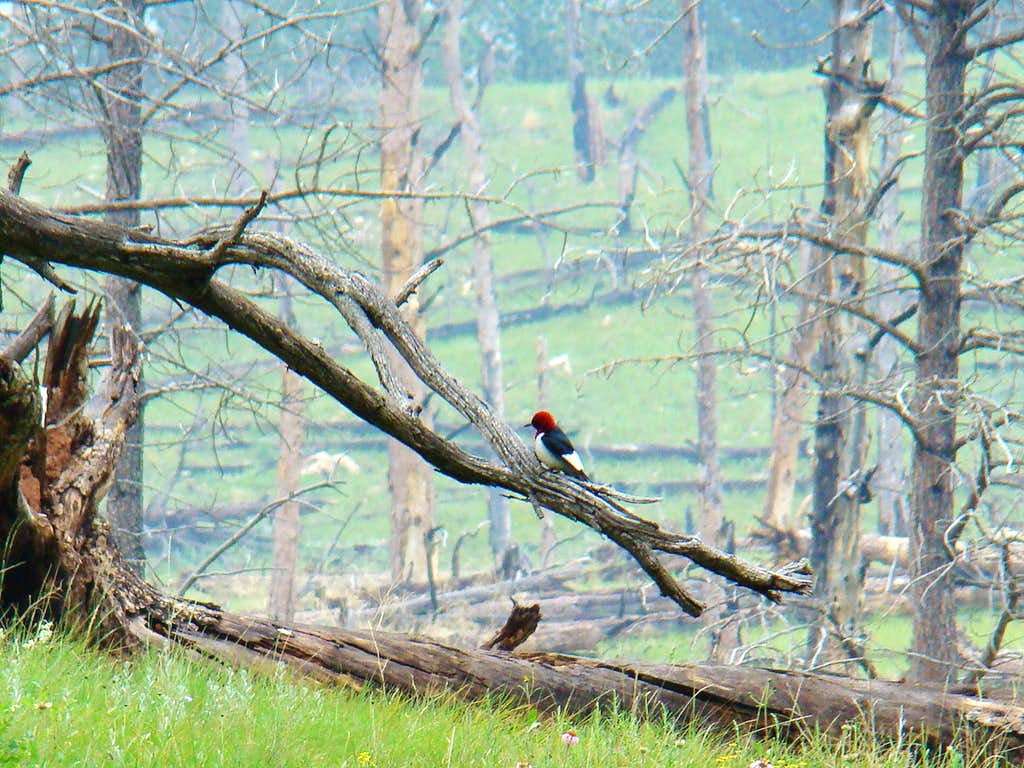 Hell Canyon Woodpecker