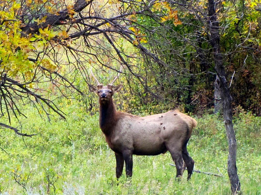 Deer? Elk?