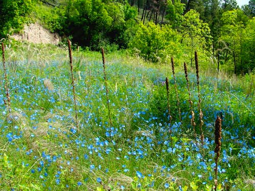 Wildflowers Galore in Lebo Canyon