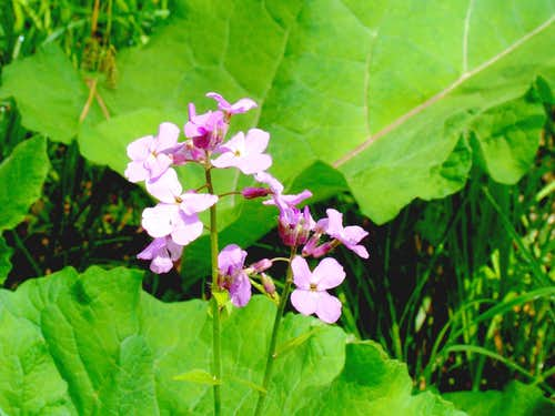 Lebo Canyon Wildflowers