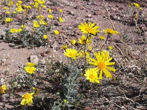 Desert Gold In Bloom