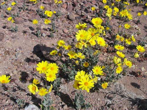 Blooming Desert Gold