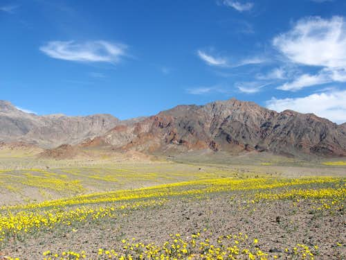 Death Valley in Bloom