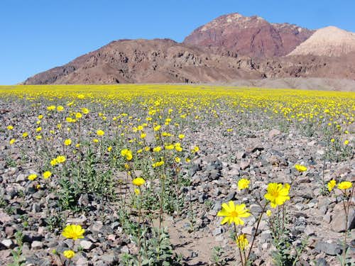 More Desert Gold Blooming Further North