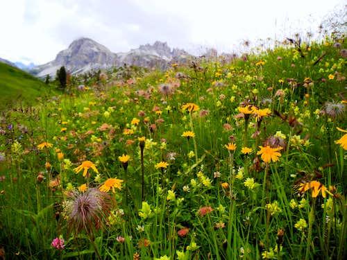 Blooming below Cinque Torri