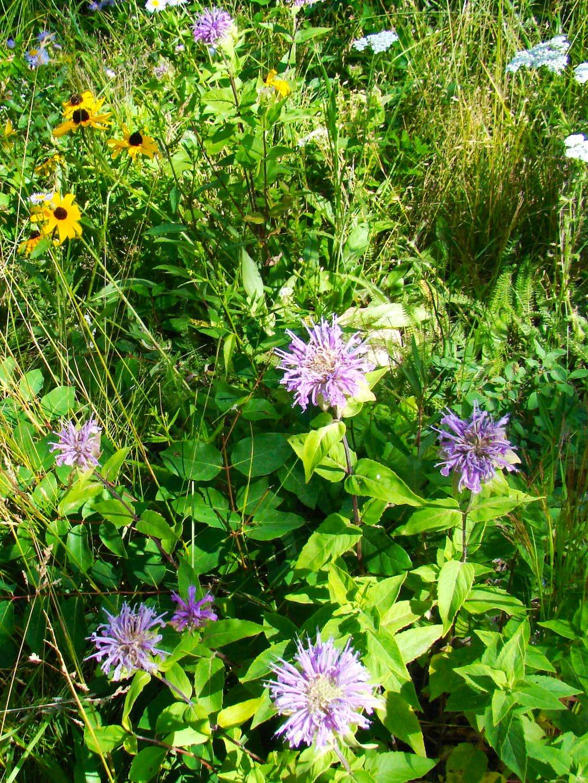 Black Elk Wilderness Wildflowers