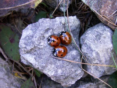 Ladybugs ...