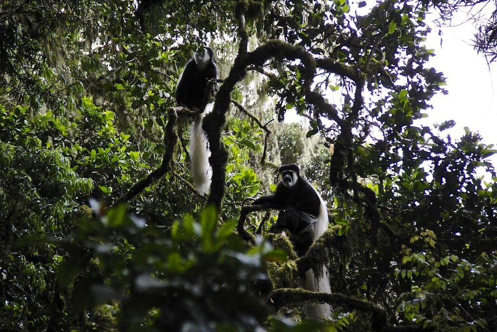 Colobus monkeysCo
