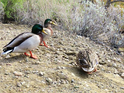 Ducks on Lake Havasu near Balance Rock