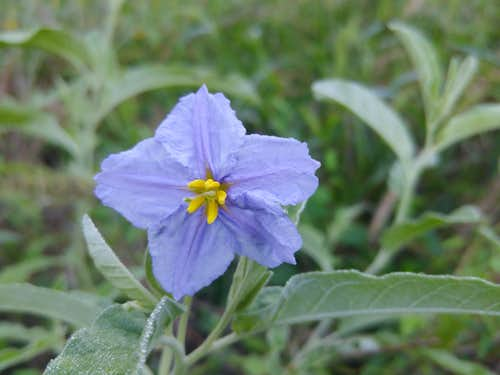 Horse Nettle at North Shore