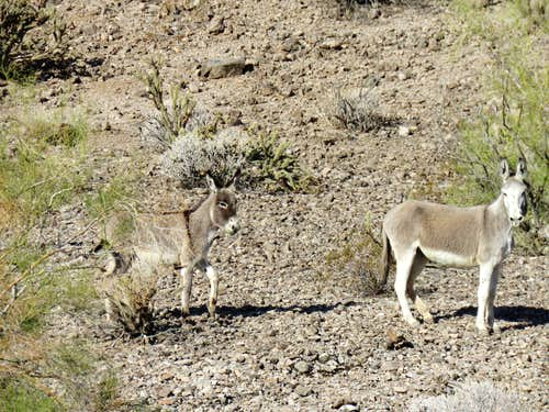 Wild burros, zoomed view