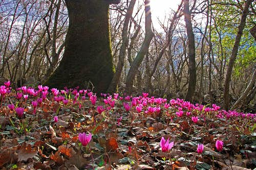 More cyclamen on Krk