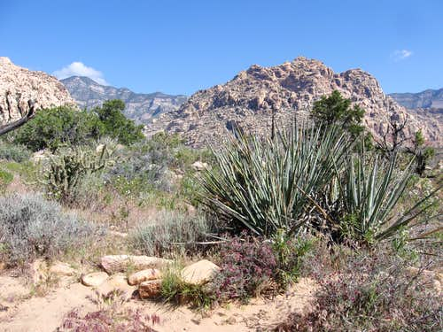 Agave Beneath the Spring Mountains