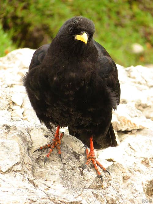 Alpine Chough on the 1st Sella Tower