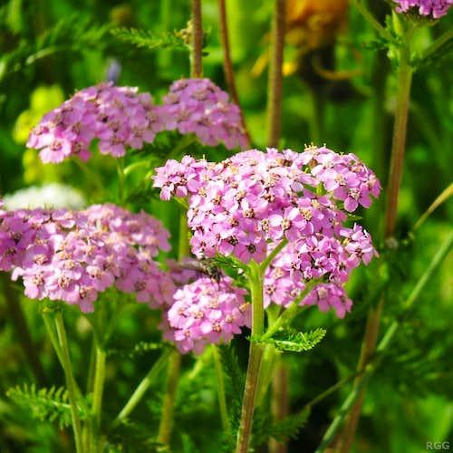 Yarrow (<i>Achillea millefolium</i>?)