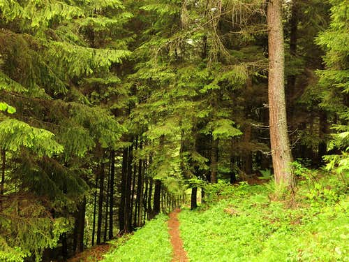 Firs wood along Gavardina trail