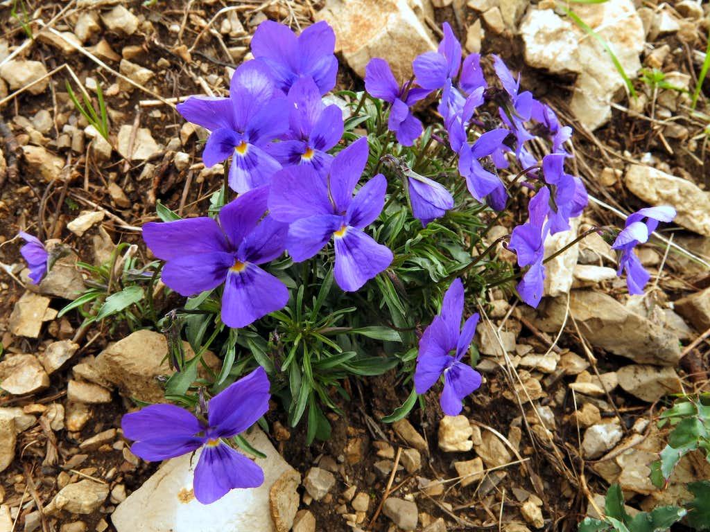 Viola Selvatica along Gavardina ridges