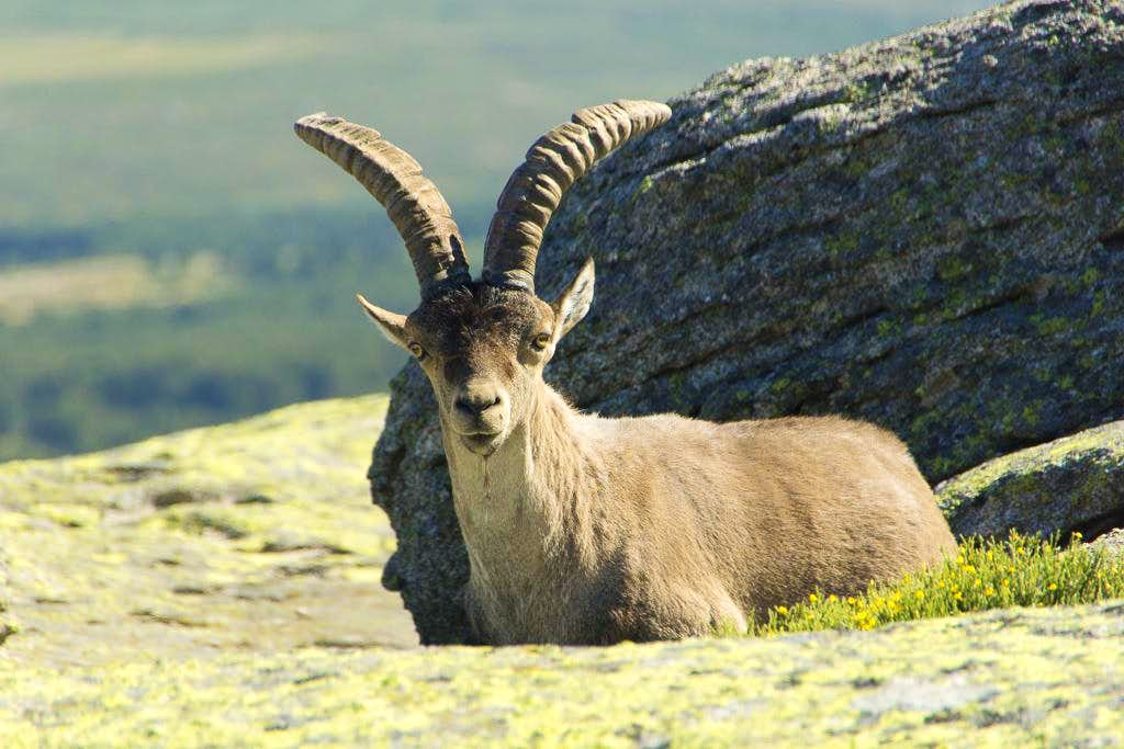 Gredos Ibex resting on the Torozo north summit