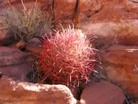 Red Spined Barrel Cactus