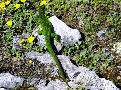Green Lizard living on St Victoire summit