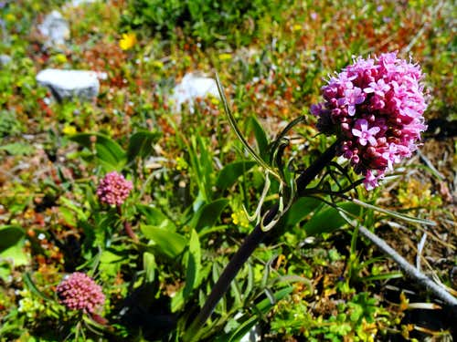 Purple Valeriana (Valeriana Officinalis), summit of Montagne Sainte Victoire