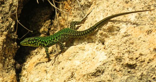 Maltese Wall Lizard (Podarcis filfolensis subsp. maltensis) climbing free at the Black Slabs, Gozo